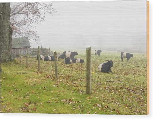 Belted Galloway Cows Farm Rockport Maine Photograph Wood Print