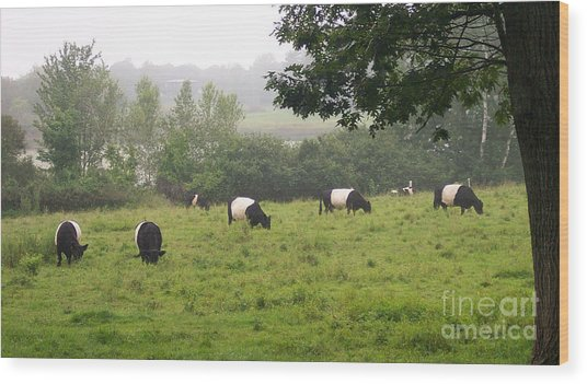 Belted Galloways In Field Wood Print