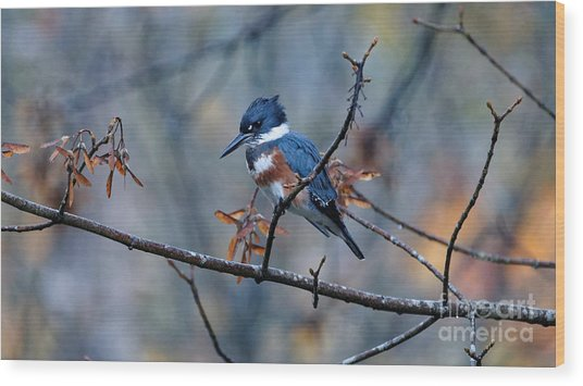 Belted Kingfisher Perch Wood Print