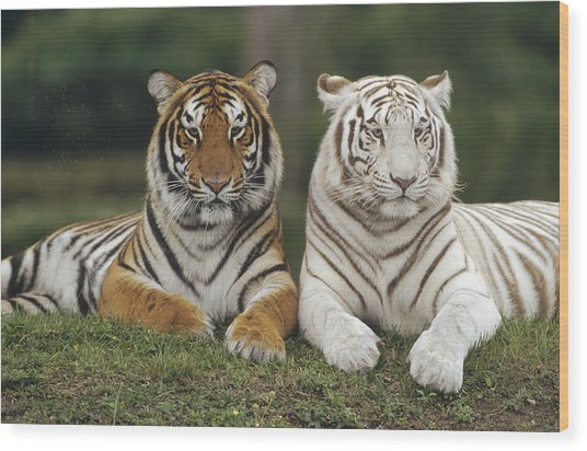 Bengal Tiger Team Wood Print