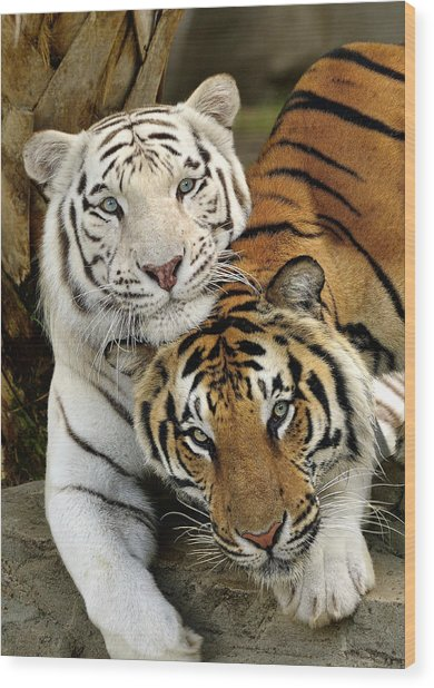 Bengal Tigers At Play Wood Print