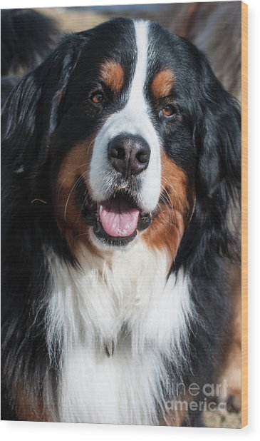 Bernese Mountain Dog Portrait  Wood Print