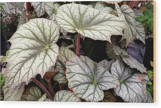 Big Begonia Leaves Wood Print