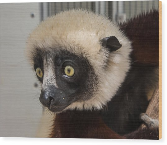 A Very Curious Sifaka Wood Print