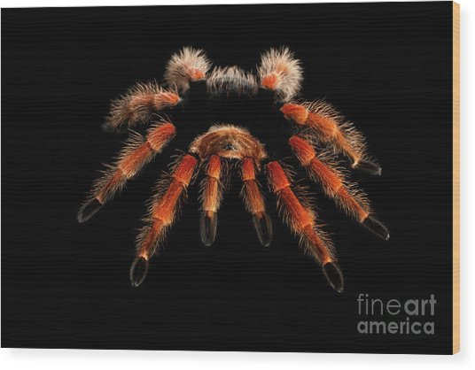 Big Hairy Tarantula Theraphosidae Isolated On Black Background Wood Print