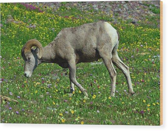 Big Horn Ram Eating Flowers In Glacier National Park Wood Print