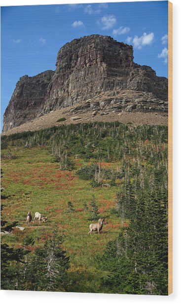 Big Horn Sheep Wood Print