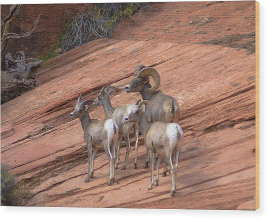 Big Horn Sheep, Zion National Park Wood Print