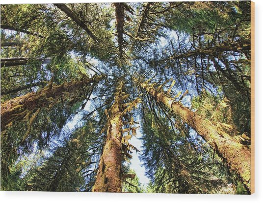 Big Trees In Olympic National Park Wood Print