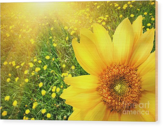 Big Yellow Sunflower  Wood Print