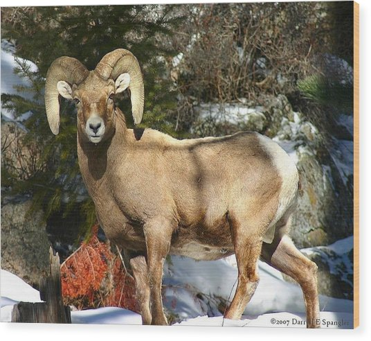 Bighorn Ram Wood Print by Perspective Imagery