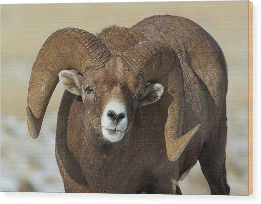 Bighorn Ram In Montana Wood Print