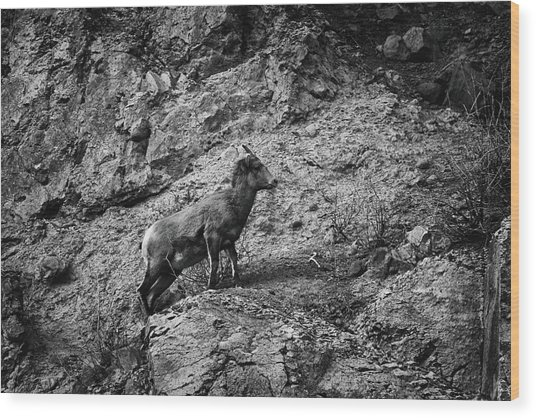 Bighorn Sheep Ewe On Wolf Creek Pass Wood Print