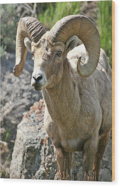 Wood Print featuring the photograph Bighorn Sheep by Wesley Aston