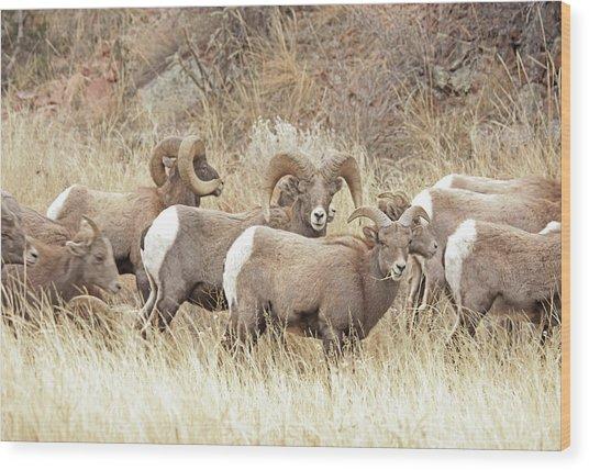 Bighorn7 Wood Print