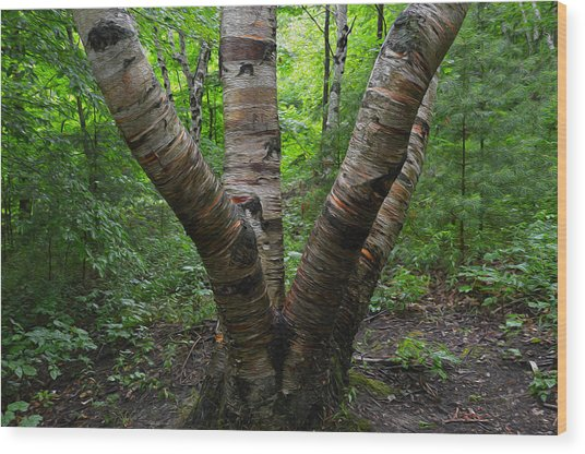 Birch Bark Tree Trunks Wood Print