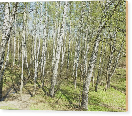 Birch Forest In Spring Wood Print