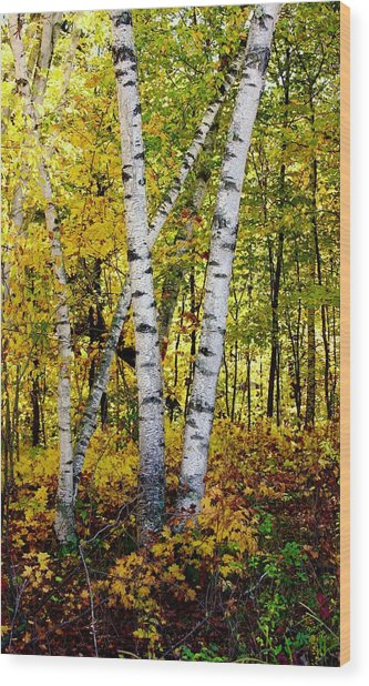 Birch In Gold Wood Print