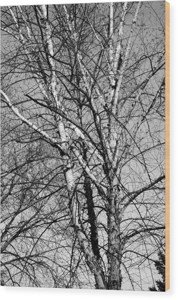 Birch Wood Print by Jame Hayes