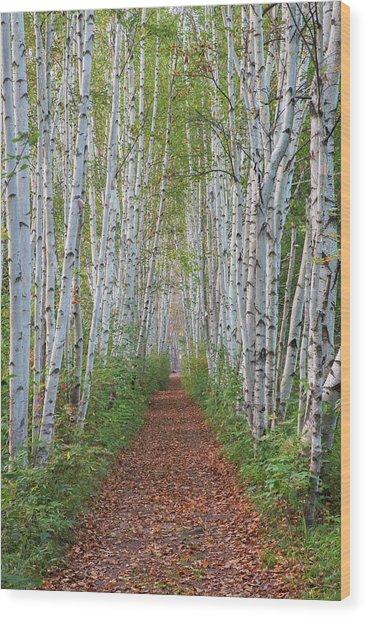 Birch Path Wood Print