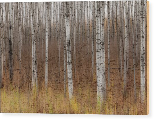 Birch Trees Abstract #2 Wood Print