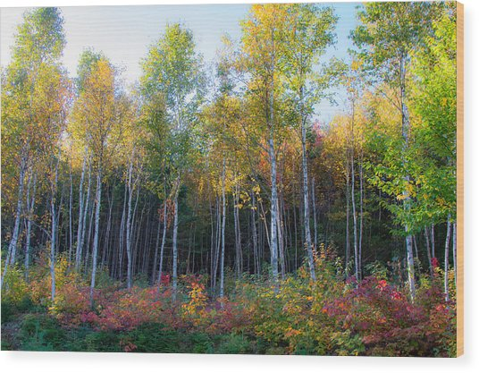 Birch Trees Turn To Gold Wood Print