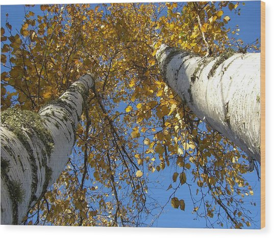 Birch Twins Wood Print by Jessica Yudis