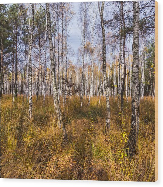 Birches And Grass Wood Print