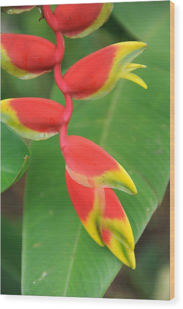 Bird Of Paradise Wood Print by Jessica Rose