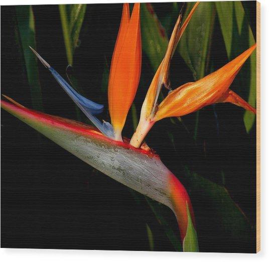 Bird Of Paradise Wood Print by Rosalie Scanlon