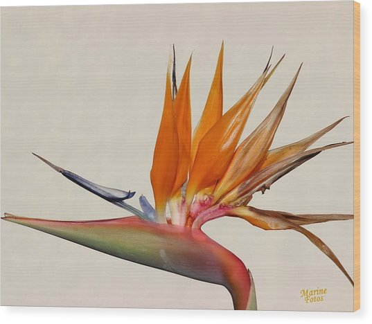 Bird Of Paradise With White Background Wood Print