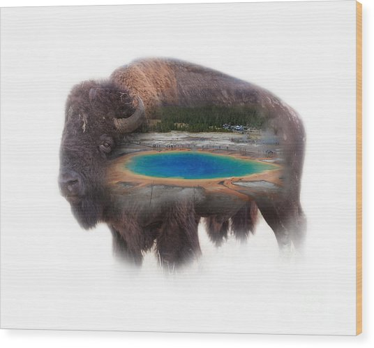 Bison And Great Prismatic Spring Double Exposure Wood Print