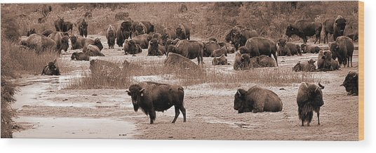 Bison At Salt Fork Arkansas River Kansas Wood Print