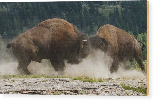 Bison Duel Wood Print