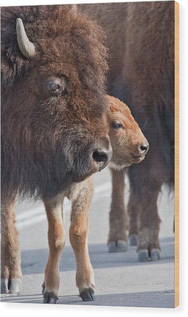 Wood Print featuring the photograph Bison Family by Wesley Aston