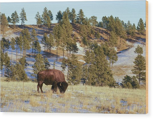Bison In Custer State Park Wood Print