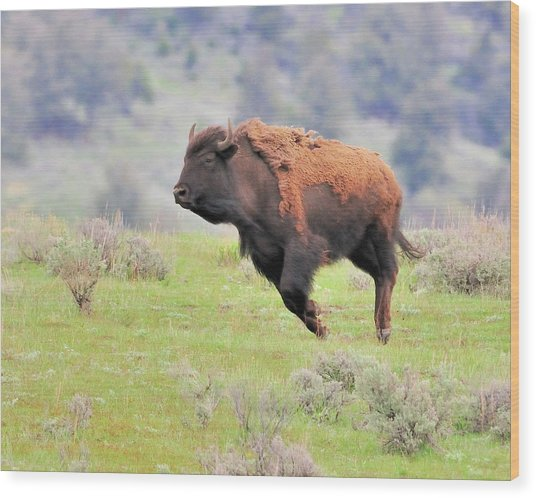 Bison In Flight Wood Print by John R Young Jr