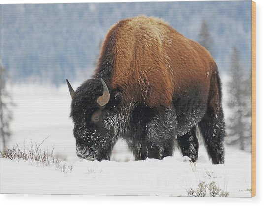 Bison Roaming In The Lamar Valley Wood Print