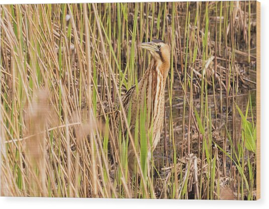 Bittern In The Reeds Wood Print