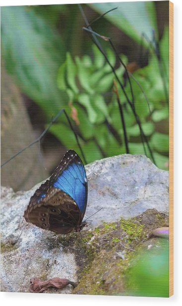 Wood Print featuring the photograph Black And Blue Butterfly Eating by Raphael Lopez