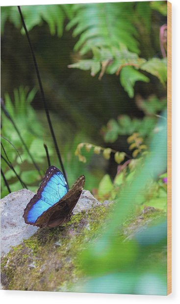 Wood Print featuring the photograph Black And Blue Butterfly by Raphael Lopez