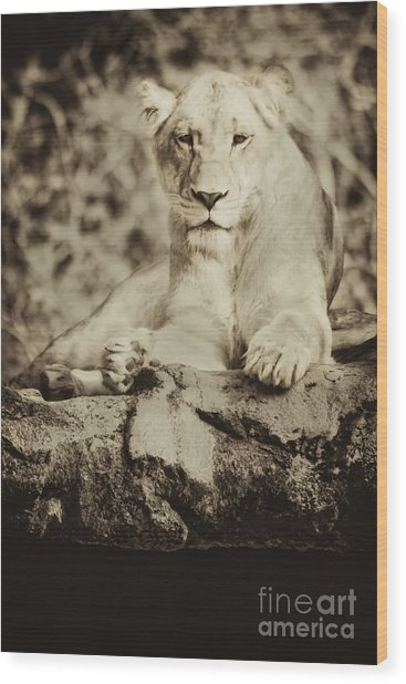 Black And White Lioness Wood Print