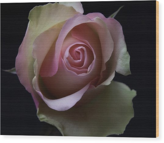 Black And White Pink Flowers Roses Macro Photography Art Work Wood Print
