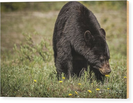 Wood Print featuring the photograph Black Bear by Brad Allen Fine Art
