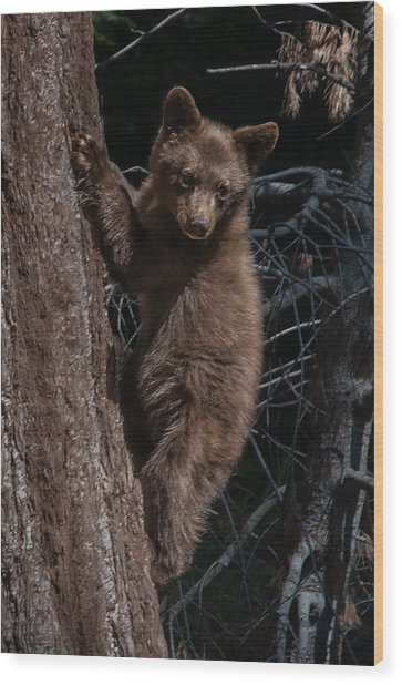 Black Bear Cub Sequoia National Park Wood Print