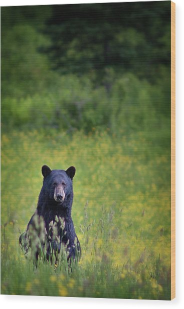 Black Bear Lookin At Me Wood Print