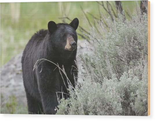 Black Bear Sow Wood Print