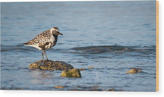 Black-bellied Plover Wood Print