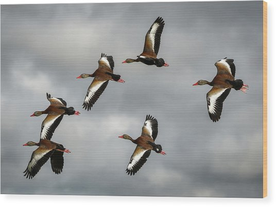Black Bellied Whistling Ducks Wood Print