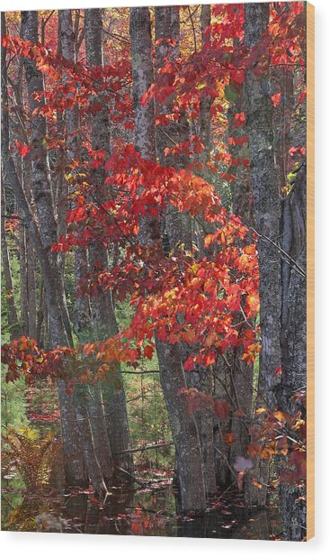 Black Birch Tree Splendor Wood Print